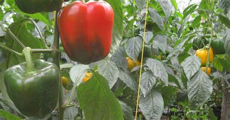 Paprika Kuning Sayur Sayuran Curah petani sayur paprika merah kuning dan hijau
