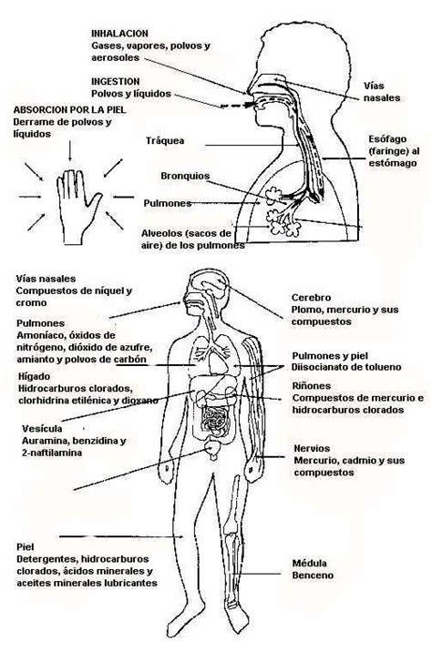 imagenes realistas del cuerpo humano organos del cuerpo colouring pages