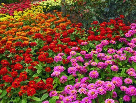Zinnias Flower Garden Zinnia Magelan Series Wellgrow Horti Trading