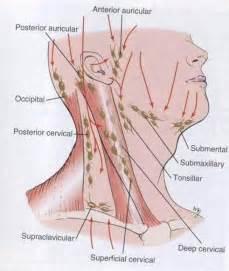 epitrochlear nodes | cndaily |, Cephalic Vein