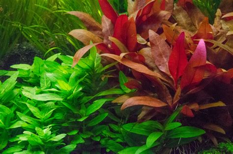 miniature plants for sale alternanthera reineckii mini aquatic mag
