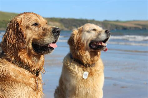 why golden retrievers are the best 12 reasons why a golden retriever makes the best family show page 8
