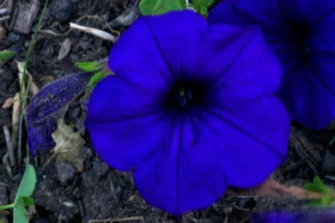 Blue Flower Blue Flower Wikipedia