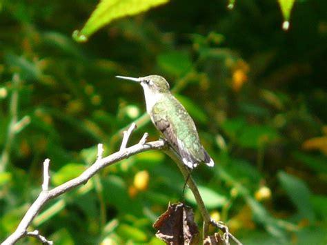 toronto wildlife hummingbirds