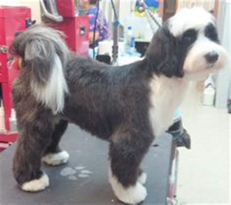 haircuts for tibetan terriers newest breed on my list tibetan terrier l animalia