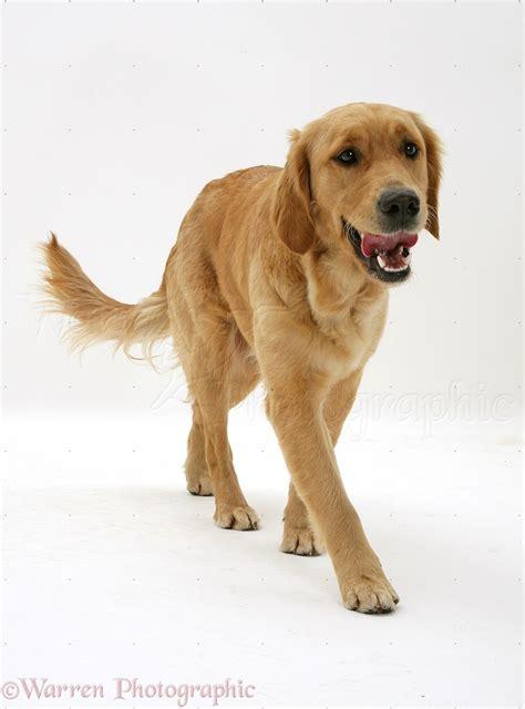 golden retriever walking golden retriever on white background breeds picture