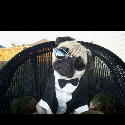 mib pug in black pug pugs perfection
