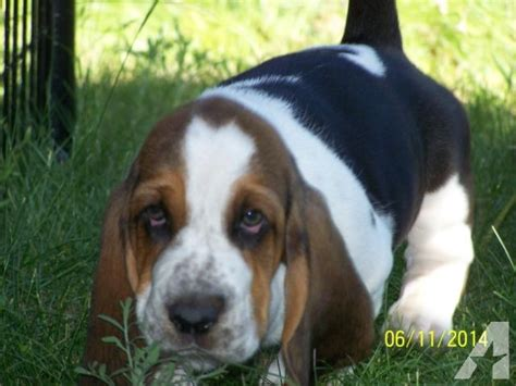puppies for sale in montana basset hound puppies for sale in missoula montana classified americanlisted