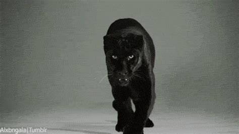 cat stalking gif find on giphy