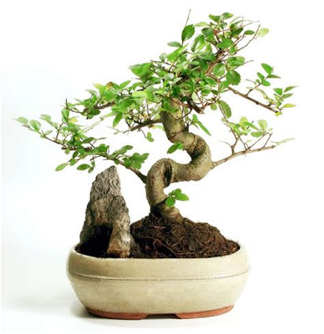 curious minds why are japanese trees small
