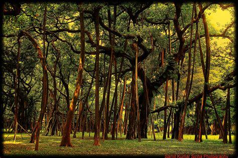 Botanical Garden Kolkata More Than 250 Years Great Banyan Tree Botanical Garde Flickr