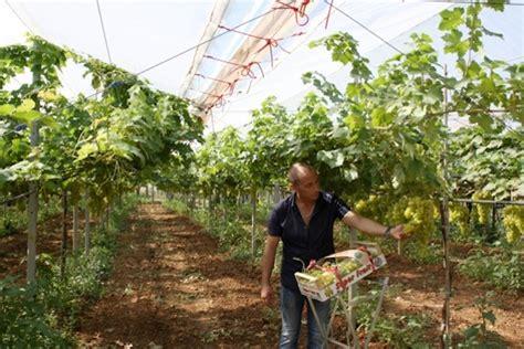 uva da tavola puglia uva apirena in puglia si sperimenta l allevamento a y