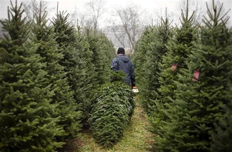 farms let buyers cut down their own christmas trees