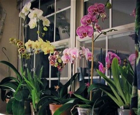 growing orchids successful gardening indoors and out an illustrated encyclopedia and practical gardening guide books carol s orchid care and maintenance tips watering your