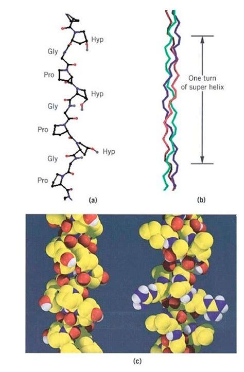 Collagen Biolo collagen part 1 molecular biology