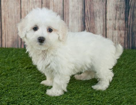 pictures of maltipoo puppies maltipoo breed information buying advice photos and facts pets4homes