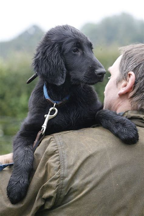 libro flat coated retrievers today book best 20 flat coated retriever ideas on black golden retriever adorable puppies and