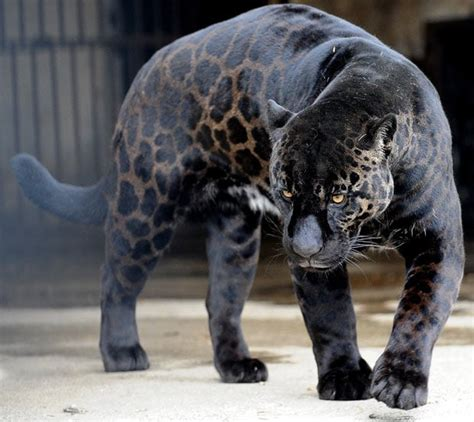 pictures of black jaguars pictures of the day 11 february 2010 telegraph