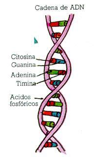 cadena de adn de 15 nucleotidos adn