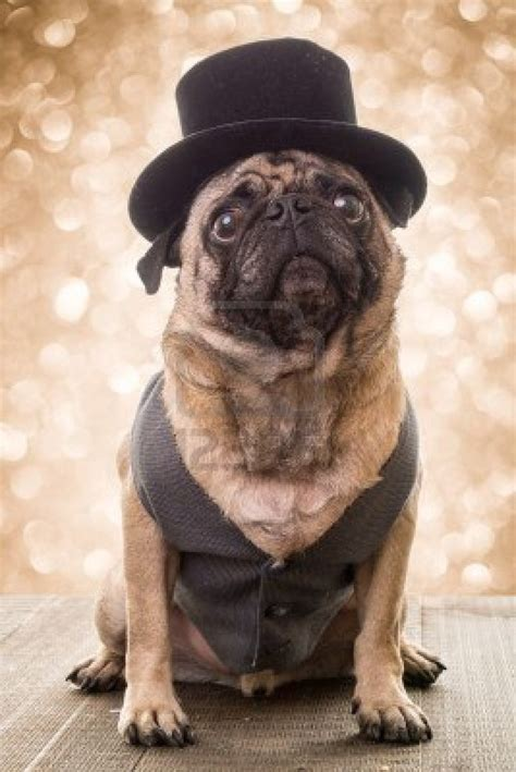 pugs with hats vintage pug top hat image pugs they own you you don t own them pug