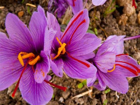 la flor del azafrn espores azafr 225 n contra la infertilidad