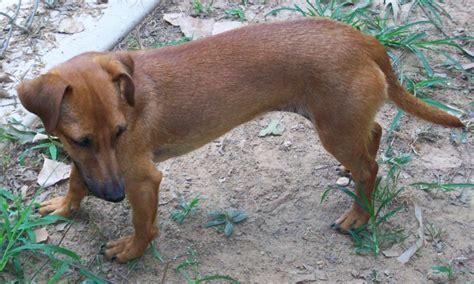 weiner mix rhodesian ridgeback dachshund mix www imgkid the image kid has it
