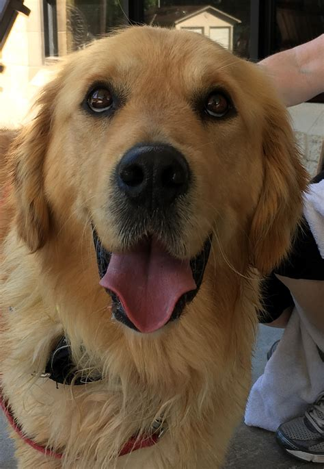 golden retriever rescue atlanta golden retriever adopt atlanta photo