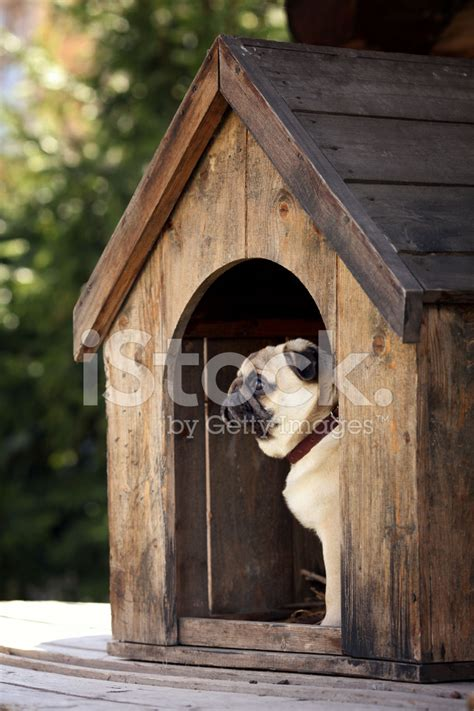 dog house funny funny pug dog in the dog house stock photos freeimages com