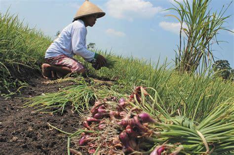 Bibit Bawang Merah Sekarang tingginya harga bibit petani engan tanam bawang merah gemilangnews
