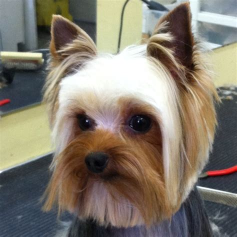 hair cut for yorkie pekachon hair cut for yorkie pekachon 39 best images about yorkie