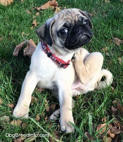 pug scratching dogs back pug breed pictures 3