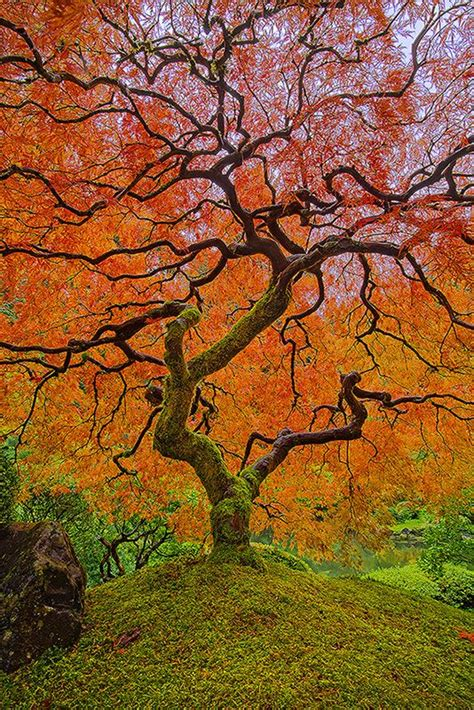japanese gardens japanese maple trees and portland on