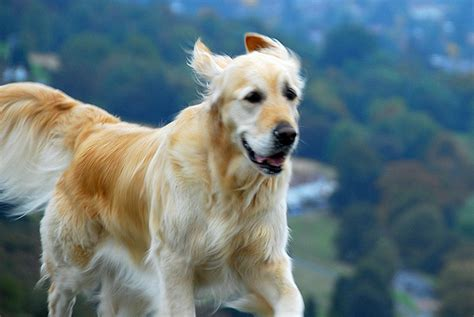 golden retriever saves owner saves owner from sexual assault