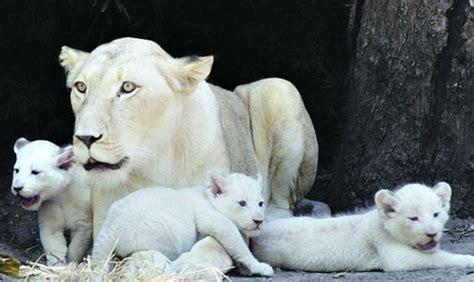 imagenes que se mueven de leones casa escuela la loba leones blancos la nieve y el blanco