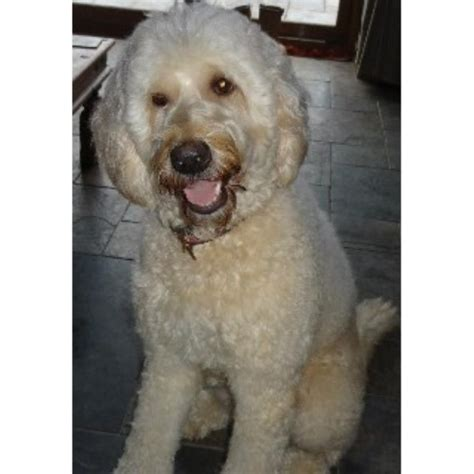 doodle puppies for sale scotland goldendoodle breeders in the uk freedoglistings uk