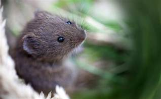 what is a vole