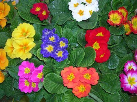primula fiore le primule ritrovo fiore