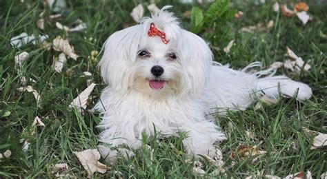 why has my maltese terrier got thin hair which dogs are best with cats