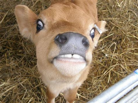Has Calves by Sooo My Friend Thinks Cows Are What Do Yall Think Aww