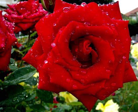 imagenes de flores extrañas y hermosas imagen de rosas lindas imagui