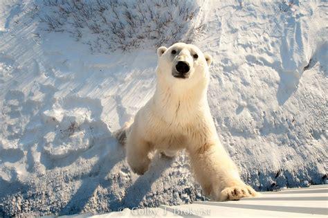 polar photography in churchill churchill polar bears