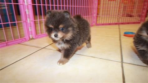 teacup pomeranian puppies for sale in atlanta ga teacup blue pomeranian puppies for sale near atlanta at puppies for sale