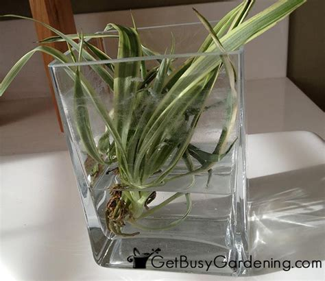 1000 ideas about peace lily on pinterest spider plants 1000 ideas about spider plants on pinterest jade plants