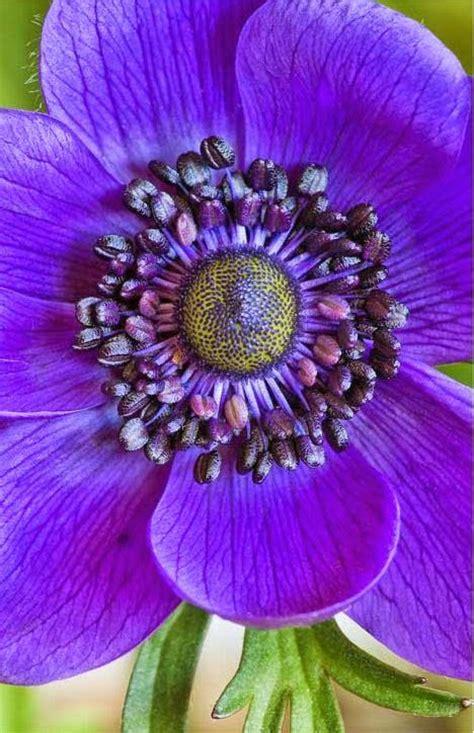 Selimut Monalisa Flower 1 anemone coronaria mona flower anemones