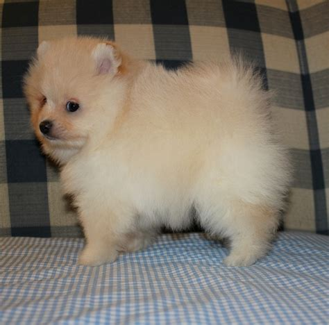 are pomeranians expensive the top ten