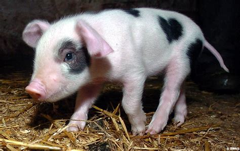 valentines pig the st s day porker piglet born with