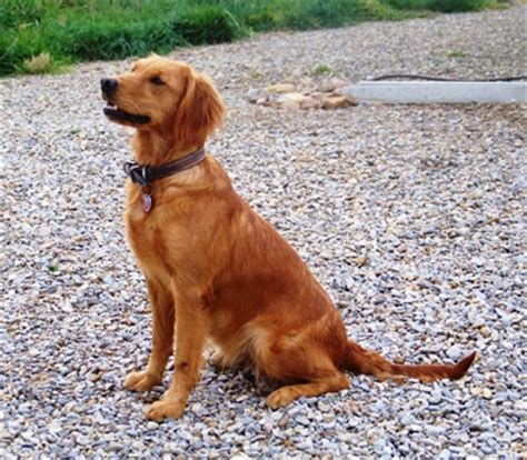 what is golden retriever what is a field golden retriever dogs our friends photo