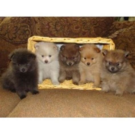 kansas city free pomeranian puppies pomeranian puppy for sale in kansas city breeds picture