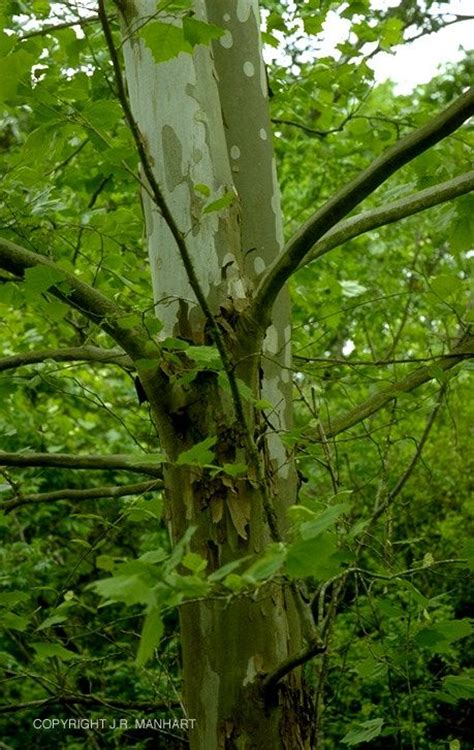 american sycamore american sycamore trees pinterest