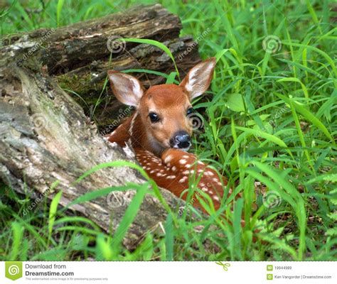 fawn images hiding fawn royalty free stock images image 19944989